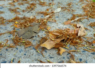 Dry of Rain tree or East indian walnut flower and leaves on the ground. (Scientific name Samanea saman).