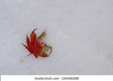Dry red Maple leaf in fresh sleet & snow on the ground. Copy space. Season change concept.