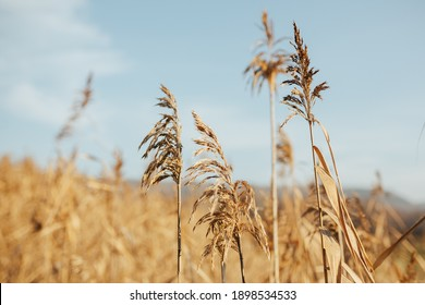 Dry reed with blue sky.