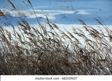 Dry reed is called a frozen lake. Winter day, blue sky.