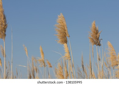 Dry reed - cane