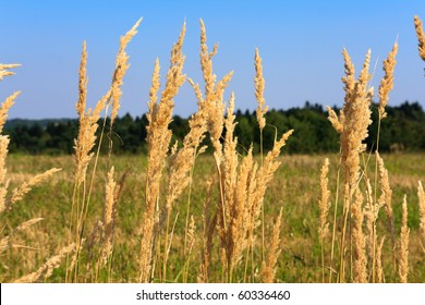 Dry reed with meadow and blue sky background