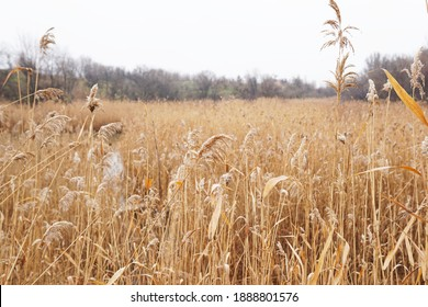 Dry reed on the lake. Golden reed grass. Abstract natural background. Beautiful pattern with natural colors. Minimal, stylish, trend concept.
