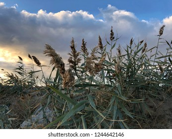 dry reed on the lake, reed layer, reed seeds. Golden reed grass in the fall in the sun. Abstract natural background