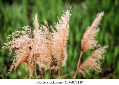 Dry reed on the lake, reed layer, reed seeds. Golden reed grass in the fall in the sun. Abstract natural background. Closeup image.