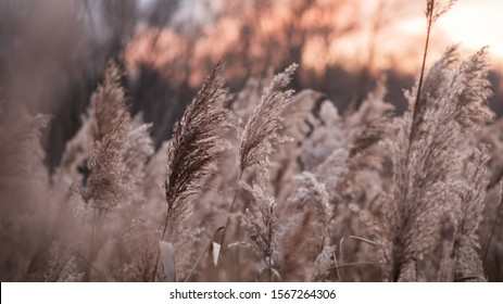 Dry reed on the lake, reed layer, reed seeds. Golden reed grass in the fall in the sun. Abstract natural background. Beautiful pattern with neutral colors. Minimal, stylish, trend concept.