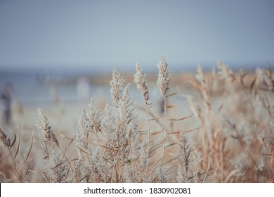 Dry reed on the sea, reed layer, reed seeds. Golden reed grass in the fall in the sun. Abstract natural background. Beautiful pattern with neutral colors. Minimal, stylish, trend concept.
