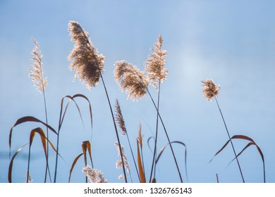 Dry reed whisks against blue lake background.