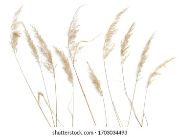 Dry reeds isolated on white background. Abstract dry  grass flowers, herbs.