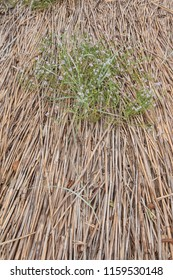 Dry reeds on the Curonian spit, Russia