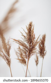 Dry reeds on white background. Abstract dry grass flowers, herbs.