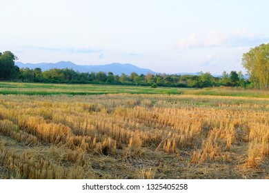Dry rice fields after harvest, image 2