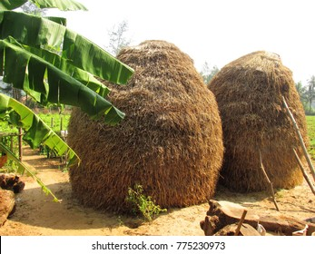 dry rice plant from Karnataka in South India