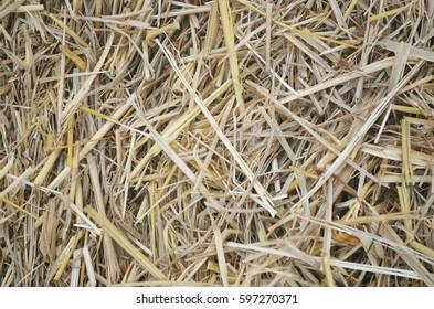 Dry rice straw texture