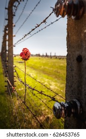 Dry rose on the Barbed Wire Fence in the concentration camp of Auschwitz Birkenau, Poland