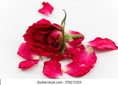 Dry rose on white background, Broken heart concept background. Sad time background. Feel sad. Love concept. Red rose.