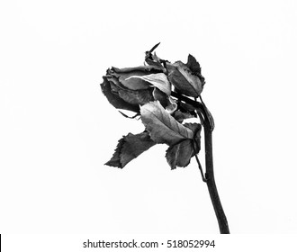 Dry rose on white background,Love,Black and white