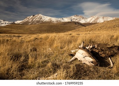 Dry rural landscape. View of dead cattle on the golden meadow. The bones in the foreground and volcano Domuyo and Andes mountain range in the background.