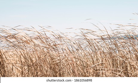 Dry sedge grass flutters in the wind next to a lake or river.Golden sedge grass in the fall in the sun. Abstract natural background. Natural Beige or Set Sail Champagne Background