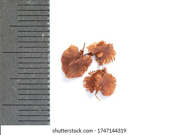 Dry seeds of the Rumex confertus Willd on a white background