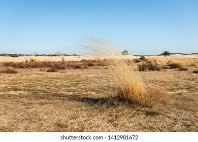 Dry sod of the grey hair-grass or Corynephorus canescens in the Dutch National Park Loonse en Drunense Duinen, North Brabant. The photo was taken in the beginning of springtime in the Netherlands.
