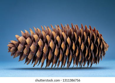 Dry spruce cone on the blue background. Studio photography.