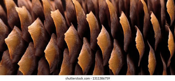Dry spruce cone on the blue background. Close up picture.