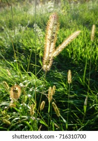 Dry stalks of grass