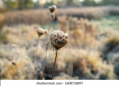 Dry stems of Daucus carota covered with hoarfrost. The first frost.