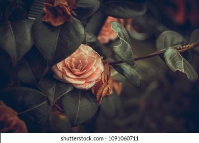 dry but still beautiful roses photographen in an English garden