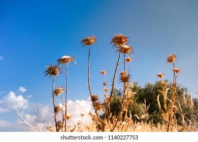 Dry thistles. Sunset in the fields of Castilla, Spain
