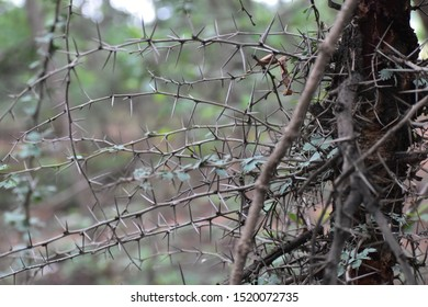 Dry thorn bushes in a forest Thorns of tree captured at a day time