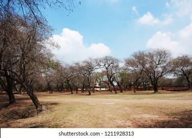 Dry tree in The Ancient pagodas in Ayuthaya Historical Park, Ayuthaya, Thailand