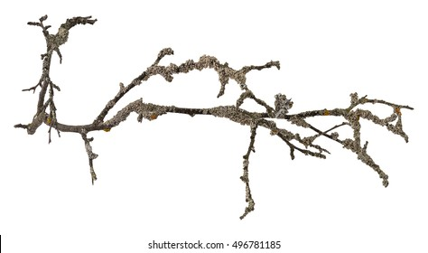 Dry tree branch with lichen isolated