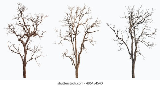 Dry tree or dead tree isolated collection on white background with clipping path