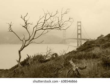 Dry tree and Golden gate bridge in San Francisco bay, San Francisco, California, USA