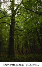 Dry tree oak