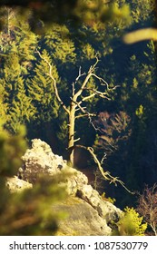 Dry Tree on the rock with a forest on background