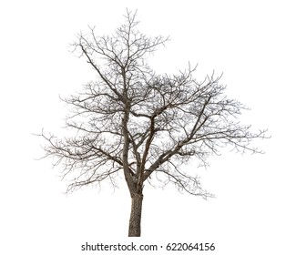 Dry tree on a white background