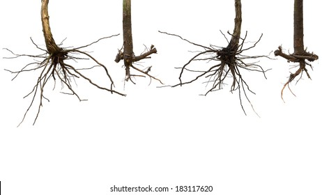 dry tree roots isolated on white