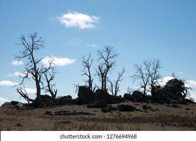 Dry Trees - NSW - Australia