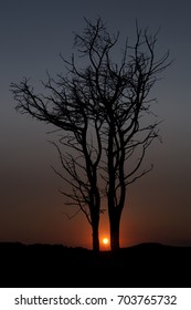 Dry trees at sunset