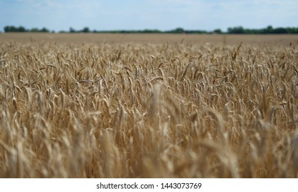 Dry triticale before harvesting in the end of June in Middle Hungary