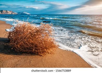 dry tumbleweed on the sea beach on sunset