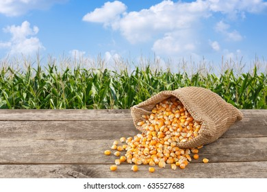dry uncooked corn grains in burlap bag on wooden table with green field on the background. Agriculture and harvest concept
