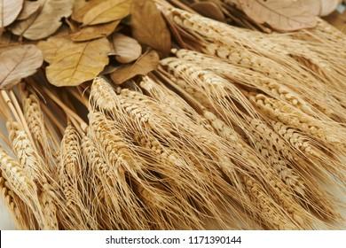 Dry wheat paddy