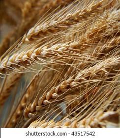 Dry wheat stalks