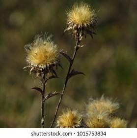Dry winter flower