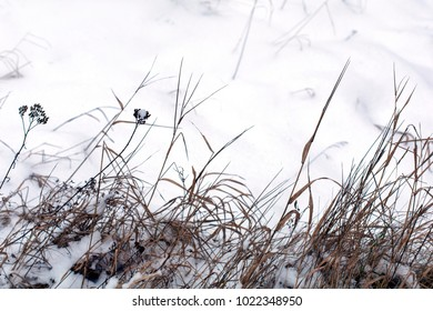 Dry winter grass in snow on a meadow in a daylight