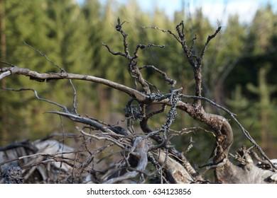 Dry Wooden Sticks